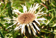 вековечный цветок Стоковая Фотография RF