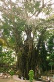 Вековое дерево Balite на Siquijor Стоковое Изображение RF