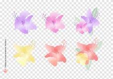 Векторы и листья цветков sinensis rosa гибискуса с щеткой акварели изолированной на предпосылке прозрачности, красивом флористиче иллюстрация штока