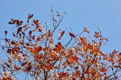 вектор вала иллюстрации осени имеющийся Яркие покрашенные листья дуба на ветвях Стоковые Изображения RF
