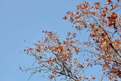 вектор вала иллюстрации осени имеющийся Яркие покрашенные листья дуба на ветвях Стоковая Фотография RF