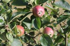вектор вала иллюстрации яблока красивейший Яблоня карлика Яблоко вися на ветви дерева Стоковое Изображение RF