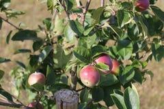 вектор вала иллюстрации яблока красивейший Яблоня карлика Яблоко вися на ветви дерева Стоковые Изображения RF