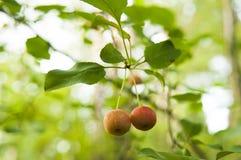 вектор вала иллюстрации яблока красивейший стоковые изображения