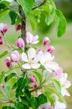 вектор вала иллюстрации яблока красивейший Цвести яблони вал листва цветения предпосылки померанцовый Стоковая Фотография RF