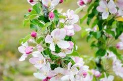 вектор вала иллюстрации яблока красивейший Цвести яблони вал листва цветения предпосылки померанцовый Стоковые Фотографии RF