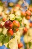 вектор вала иллюстрации яблока красивейший Стоковое Фото