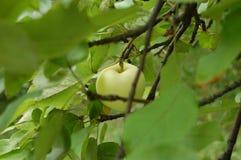 вектор вала иллюстрации яблока красивейший Стоковые Фото