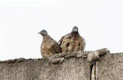 вектор влюбленности иллюстрации птиц Стоковое Изображение