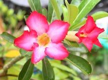 вектор детального чертежа предпосылки флористический пинк цветка adenium тропический Стоковая Фотография