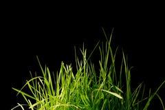 вектор зеленого цвета травы предпосылки черный Стоковое фото RF