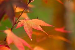 вектор красного цвета клена листьев графиков предпосылка конспекта лист осени Ландшафт парка парка Канады осенний с коричневым ор Стоковое Изображение