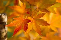 вектор красного цвета клена листьев графиков предпосылка конспекта лист осени Ландшафт парка парка Канады осенний с коричневым ор Стоковые Изображения RF
