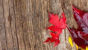 вектор красного цвета клена листьев графиков Стоковое Изображение