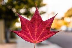 вектор красного цвета клена листьев графиков стоковое фото rf