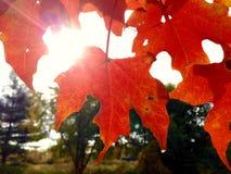 вектор красного цвета клена листьев графиков Стоковое Фото