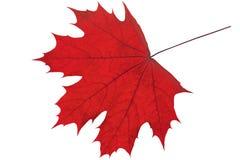 вектор красного цвета клена листьев графиков Стоковые Фото