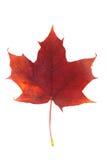 вектор красного цвета клена листьев графиков Стоковые Фотографии RF