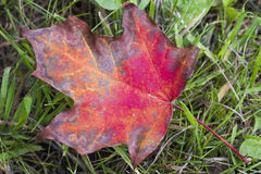 вектор красного цвета клена листьев графиков Стоковые Изображения RF
