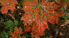 вектор красного цвета клена листьев графиков Стоковое Изображение RF
