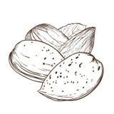 Вектор миндалины на белой предпосылке Стоковое Изображение