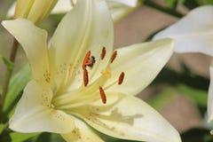 вектор насекомых цветков элементов конструкции Стоковое Изображение RF