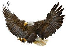 Вектор посадки налёт белоголового орлана Стоковые Изображения RF