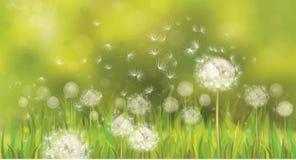 Вектор предпосылки весны с белыми одуванчиками. Стоковые Изображения
