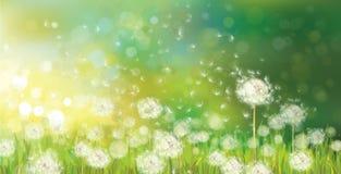 Вектор предпосылки весны с белыми одуванчиками. бесплатная иллюстрация