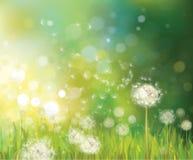 Вектор предпосылки весны с белыми одуванчиками.