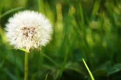 вектор природы травы одуванчика предпосылки Стоковая Фотография RF