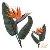 Вектор райской птицы реалистический Стоковые Фотографии RF
