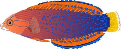 Вектор рыб аквариума Coris Yellowtail Стоковые Изображения RF