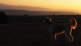 вектор силуэта grunge собаки предпосылки Стоковое Фото