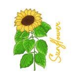 Вектор солнцецвета с зеленым цветом выходит на белую предпосылку Стоковая Фотография
