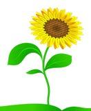 вектор солнцецвета Стоковые Фото