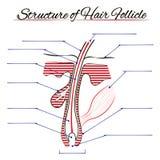 вектор структуры иллюстрации волос людской Стоковые Фото
