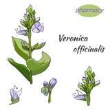 Вектор установил нежных цветков на белой предпосылке Лекарственное растение officinalis nica ³ Verà нарисовано в чернилах для укр иллюстрация штока