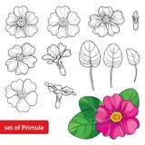 Вектор установил при цветок Primula или первоцвета плана, листья и бутон в черноте и пинке изолированные на белой предпосылке вес Стоковые Фотографии RF