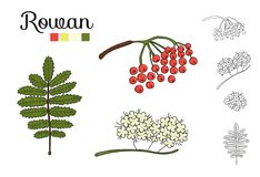 Вектор установил элементов дерева рябины изолированных на белой предпосылке бесплатная иллюстрация