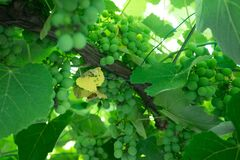 вектор формы виноградин предпосылки lfloral Стоковые Фото