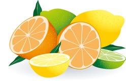 вектор цитрусовых фруктов Стоковое Фото