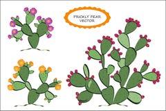 Вектор шиповатой груши Кактус шиповатой груши с плодоовощами, и цветками Розовые и желтые варианты blossoming Стоковые Фото