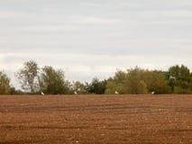 Великобритания коричневеет птиц дня overcast поля фермы обрабатывая землю вспаханная индустрия Стоковые Изображения