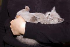 великобританская вниз внешняя сторона котенка Стоковые Фото