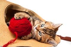 великобританская краткость котенка волос стоковое фото rf