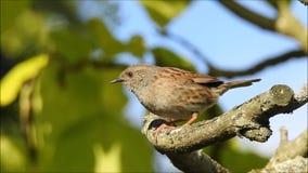 Великобританская птица dunnock поя высоко вверх в верхней части дерева сток-видео