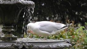 Великобританская стирка чайки цапли и выпивать в фонтане сада парка сток-видео