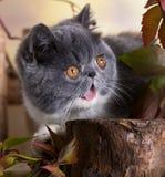 Великобританские котенок и цветки shorthair стоковые фотографии rf