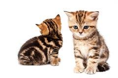 великобританские котята волос замыкают накоротко Стоковое Изображение